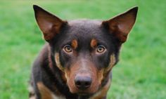 My mum's very naughty Australian kelpie who won't sit still long enough for me to focus it correctly. Grrr