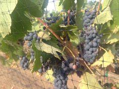 2012 Syrah Grapes mid summer, Murphy Ranch, Ramona, CA Ranch, California, Wine, Fruit, Summer, Guest Ranch, Summer Time