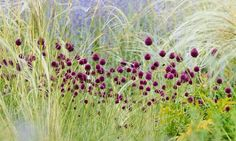 Garden Ideas, Border ideas, Perennial Planting, Perennial combination, Summer Borders, Allium sphaerocephalon, Perovskia, Russian Sage, Drumstick Allium, Stipa barbata, Feather grass