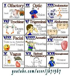 Easily remember all the functions of the cranial nerves. From frowning to smiling, the cranial nerves help you move the muscles of your face, to even special. 12 Cranial Nerves Mnemonic, Cranial Nerve 2, Cranial Nerves Function, Cranial Nerves Anatomy, Nursing School Tips, Nursing Tips, Nursing Notes, Nursing Schools, Ob Nursing