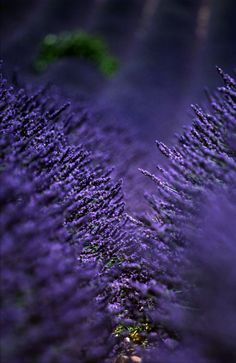 Lavender...I love native plants but I have always loved lavender in my garden too