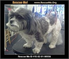 Rescue Me ID: 15-02-01-00556Zuzu (female)  Bichon Frise Mix    Age: Young Adult  Compatibility:	 Good with Adults (Not Kids)  Personality:	 Average Energy, Average Temperament  Health:	 Spayed, Vaccinations Current       Tiny little Zuzu is for adoption with Shih Tzu Rescue of GA. She just turned 6 years old, only weighs 12 pounds, house trained, spayed, vaccinated, wormed, heartworm negative, groomed and is a 'Teddy Bear' (Shih Tzu-Bichon). She'll prefer a calm home without a lot of ...