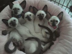 Chat-Awhile Siamese kittens