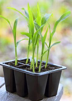 Maissi kylvetään toukokuussa ja satoa pääsee nauttimaan elo-syyskuussa. Lue Viherpihan vinkit ja kasvata itse makeita maisseja!