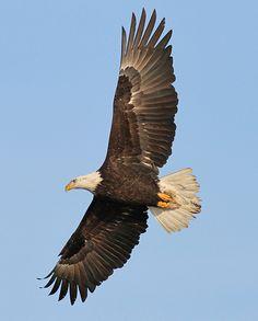 BaldEagle Eagles at last  #BirdsofPrey #BirdofPrey #Bird of Prey