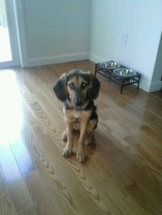 My baby girl, Ladybird! <3 Black & Tan Coonhound/German Shepherd mix
