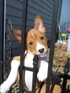 So I've heard basenji never bark. Or seldom bark. I just may have to start a new board for puppies.