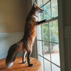 It's cruel to keep wild animals as pets for OUR enjoyment Fantastic Fox, Fabulous Fox, Animals And Pets, Funny Animals, Cute Animals, Wild Animals, Baby Animals, Funny Cat Videos, Funny Cats