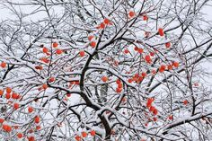 Snow and a Persimmon Tree Photographic Print by Koichi Watanabe - at AllPosters.com.au