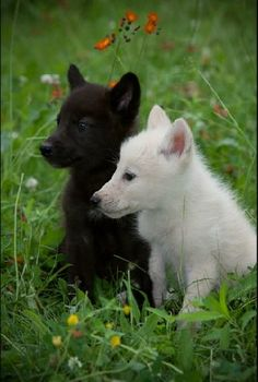 Cutest little black and white wolf cubs by Harvey Wildlife Photography..aww!