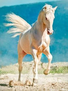 Stunning horse photography. Gorgeous creamy colored horse and amazing blue background.