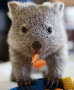 Maria the wombat © Bonorong Wildlife Sanctuary, cuteness overload Baby Wombat, Cute Wombat, Cute Baby Animals, Animals And Pets, Funny Animals, Le Zoo, Quokka, Australian Animals, Tier Fotos