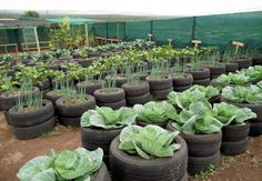 The thick rubber material of tires will protect your tomatoes, potatoes, eggplants, peppers, or other veggies from harsh winds and elements.