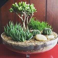 Growing cactus indoors is a relatively simple process. Although, most of the cactus plants tolerate neglect, they thrive properly when … Mini Cactus Garden, Cactus Pot, Succulent Gardening, Garden Terrarium, Succulent Terrarium, Succulent Ideas, Cactus Flower, Cactus Planters, Terrarium Ideas