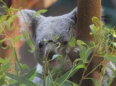 Title  Koala Bear    Artist  Dan Sproul   Medium  Photograph - Digital