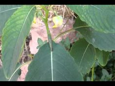 Wild Oklahoma medicinal Plants, Jewelweed plant & great mullein plant.