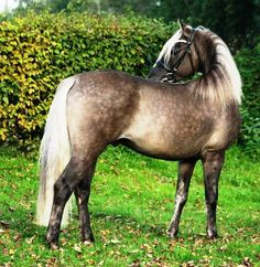 Schaenzer's Silver Lining, a rare 3 yr old silver dapple grullo Morgan stallion who just passed his inspection for the ZfdP (German Horses Breeders Association), and is proudly owned by Inge Schicker of Rueckengut Morgans. https://www.facebook.com/inge.schicker.9