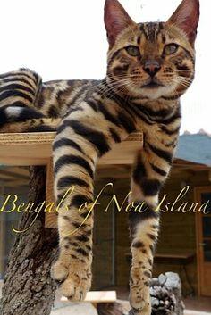 Bengal baby