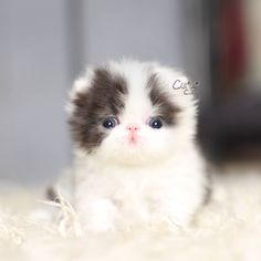 2229 Best Persian Cat And Kitten Images In 2020 Cats Kittens