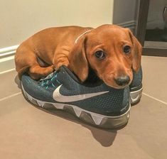 Dachshunds and Shoes Weenie dogs / Sausage dog / Dachshund love / Dachshund puppies / Wiener Dog / Dachshund Facts, Dachshund Funny, Mini Dachshund, Dachshund Puppies, Weenie Dogs, Cute Puppies, Cute Dogs, Doggies, Mini Weiner Dog