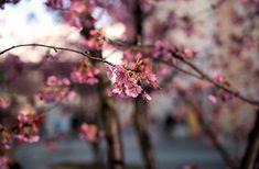 Holzart Kirsche - ein edles Holz für den Möbelbau Dandelion, Flowers, Plants, Types Of Wood, Cherries, Culture, Dandelions, Plant, Taraxacum Officinale
