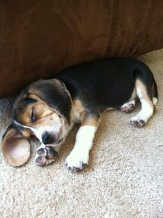 beagle puppy......adorable! It's the ultimate birthday present