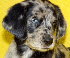 Katy (Foster) is an adoptable Australian Shepherd Dog in Nashville, IN. MUST SEE!!! A Gorgeous Litter of NINE Hi, I'm Katy- full of love and puppy kisses. I just arrived with my brothers and sisters. ...