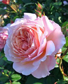 'A Shropshire Lad' David Austin rose