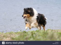 dog-rough-collie-scottish-collie-adult-tricolor-running-on-the-edge-D1WEP5.jpg (1300×956)