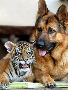 Tiger Cub and German Shepherd Play Like Romper Room Pals! (yeah till the tiger grows up & eats the dog. ;)