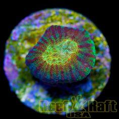 Reef Raft USA Goldrush Favia