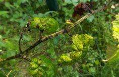 Чим винограднику загрожує фомопсис? 👨🌾🍇🌱🍃🌿 #виноград #фомопсис #болезниивредители #виноградник #рослини #ягоди #сад Vines, Garden, Garten, Lawn And Garden, Gardens, Arbors, Gardening, Outdoor, Grape Vines