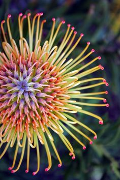 [Protea: Foto de la fotógrafa Jenny Ross] » Protea: Photo by Photographer Jenny Ross