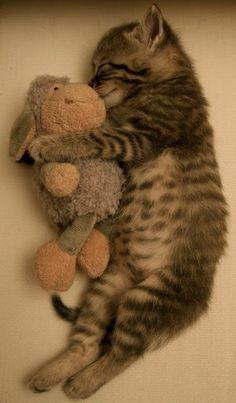 kitten sleeping with toy lamb