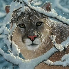 snowy woods, animals | Mountain Lion in Snowy Woods. | Cool Animals