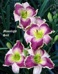 Daylily 'Moonlight Sail'