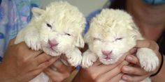 White lion pups in the Zoo Parque Loro in Tlaxcalancingo on July 19, 2012 in Puebla, Mexico. (© 2012 Rodolfo Vanegas Sanchez/Getty Images)
