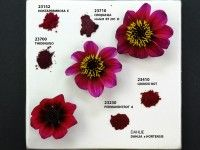 Dahlia and Pigments