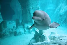 Belugas. They're are so beautiful. They look like pieces of ice underwater.