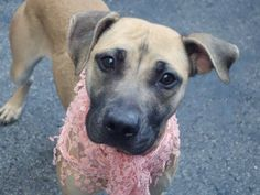 TO BE DESTROYED 10/25/14 Manhattan Center -P  My name is LIANNIE. My Animal ID # is A1018007. I am a female brown and white pit bull mix. The shelter thinks I am about 8 MONTHS old.  For more information on adopting from the NYC AC&C, or to  find a rescue to assist, please read the following: http://urgentpetsondeathrow.org/must-read/