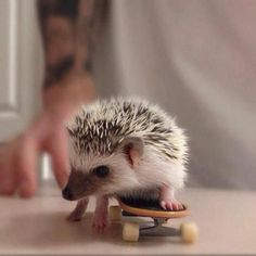 I might let you get a hedgehog if you could teach it to skateboard . . .