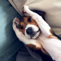 """From @beag.lexi: """"But I don't wanna wake up yet... it's the weekend!"""" #cutepetclub by cutepetclub"""