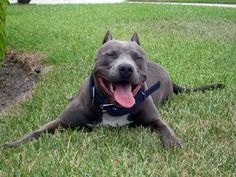 American Pit Bull Terrier reminds me of my Joe Joe