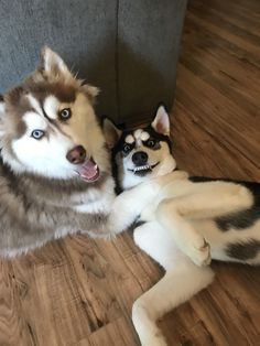 "Search Results for ""label/Husky"" Cute Dog Photos, Funny Dog Pictures, Funny Dogs, Cute Dogs, Funny Husky, Malamute Husky, Husky Dog, Baby Animals, Cute Animals"