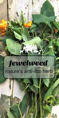 jewelweed - a plant used by many herbalists and people who are passionate about natural remedies.