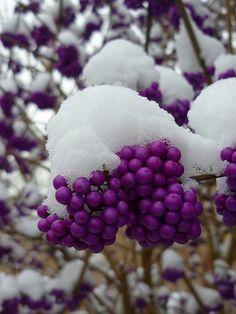 purple pearls on ice