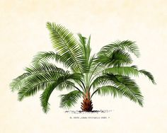 Antique French Palm Tree Plate 37 1878 Botanical  8 x 10 Art Print Wall Decor via Etsy