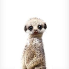 Meerkat print Safari animal prints The Crown Prints Baby room decor Nursery wall art Baby animal prints Nursery animals Zoo animals Safari Animals, Cute Baby Animals, Animals And Pets, Funny Animals, Animals Images, Wild Animals, Funny Dogs, Baby Meerkat, Baby Sloth