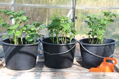 Bokashi container garden tips in large self watering containers Self Watering Containers, Watering Can, Container Gardening, Gardening Tips, Bokashi, All The Small Things, Tomato Plants, Growing Tomatoes, Farm Gardens