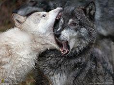 """Fotografia di Cesar AristeiguietaLupi in cattività in un ranch a Kalispell, Montana. Un giovane maschio (a sinistra) sfida il maschio alfa. """"Nonostante i momenti di tensione e pericolo, i guardiani sono riusciti a separarli"""", riferisce il fotografo."""